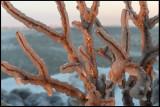 Frozen bush after hard cold winds in Gräsgård - Öland