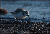 Sanderling (with ice-load in the back) capturing a small sea-shore animal - Ottenby