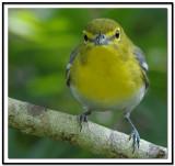 yellow_throated_vireo