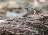 White-gorgeted Flycatcher