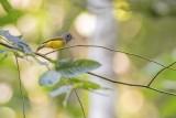 Grey-headed Canary Flycatcher