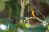 Black-backed Kingfisher