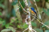 Chinese Blue Flycatcher