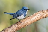 Ultramarine Flycatcher