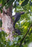 Great Slaty Woodpecker