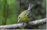 Yellow-throated Viero