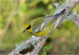 Lawrence's Warbler
