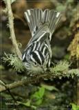 Black  White Warbler