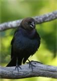 Brown- headed Cowbird