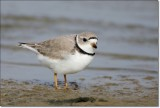 Pipping Plover 2
