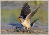 Barn Swallow 4