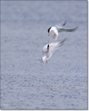 Foresters Terns