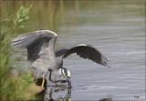 Yellow-crowned Night Heron 6.JPG