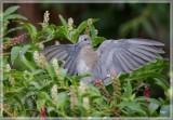 White-winged Dove