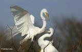 Great Egrets 7.JPG