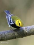 Black-throated Green Warbler