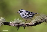 Black and White Warbler.