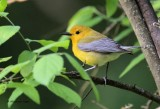 Prothonatary Warbler.