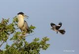 Black-crowned Night Heron and Nemesis.