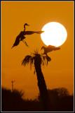 Great Blue Heron and Anhinga