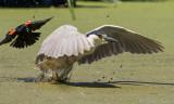 Oiseaux des marais et échassiers
