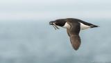 oiseaux cotiers, de mer, Grébes