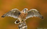 Oiseaux de proies diurnes et nocturnes