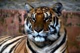 Mae Rim Tiger Kingdom