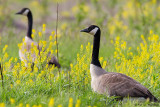 Geese in yellow
