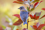 Bluebird, fall leaves