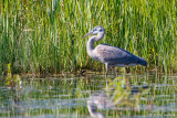 Heron and grass