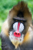 Male mandrill