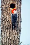 Male Woodpecker
