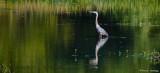 Isolated Heron