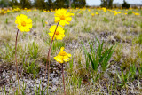Lakeside daisies in field