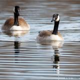 Geese on lake