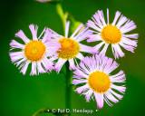 Blooming fleabane