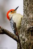 Resting Woodpecker