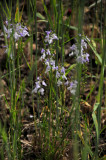 Common blue toadflax 5578