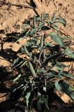 NM Western Jimson weed 3968