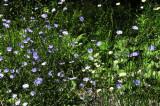 g Chicory 5255