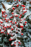 07 Nandina in snow 7204