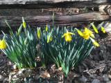 30 First daffodils 3150