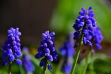 19 Grape hyacinths 2248