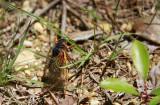 Magicicada septendecim-17 year Cicada