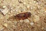 Magicicada septendecim-17 year Cicada (dead female)