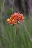 Asclepias lanceolata- Smooth Orange Milkweed
