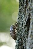 Cicada climing to transform