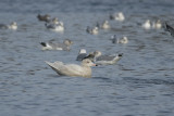 Glaucous Gull (1st cycle)