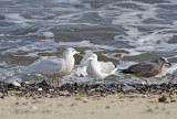 Glaucous Gull and friends